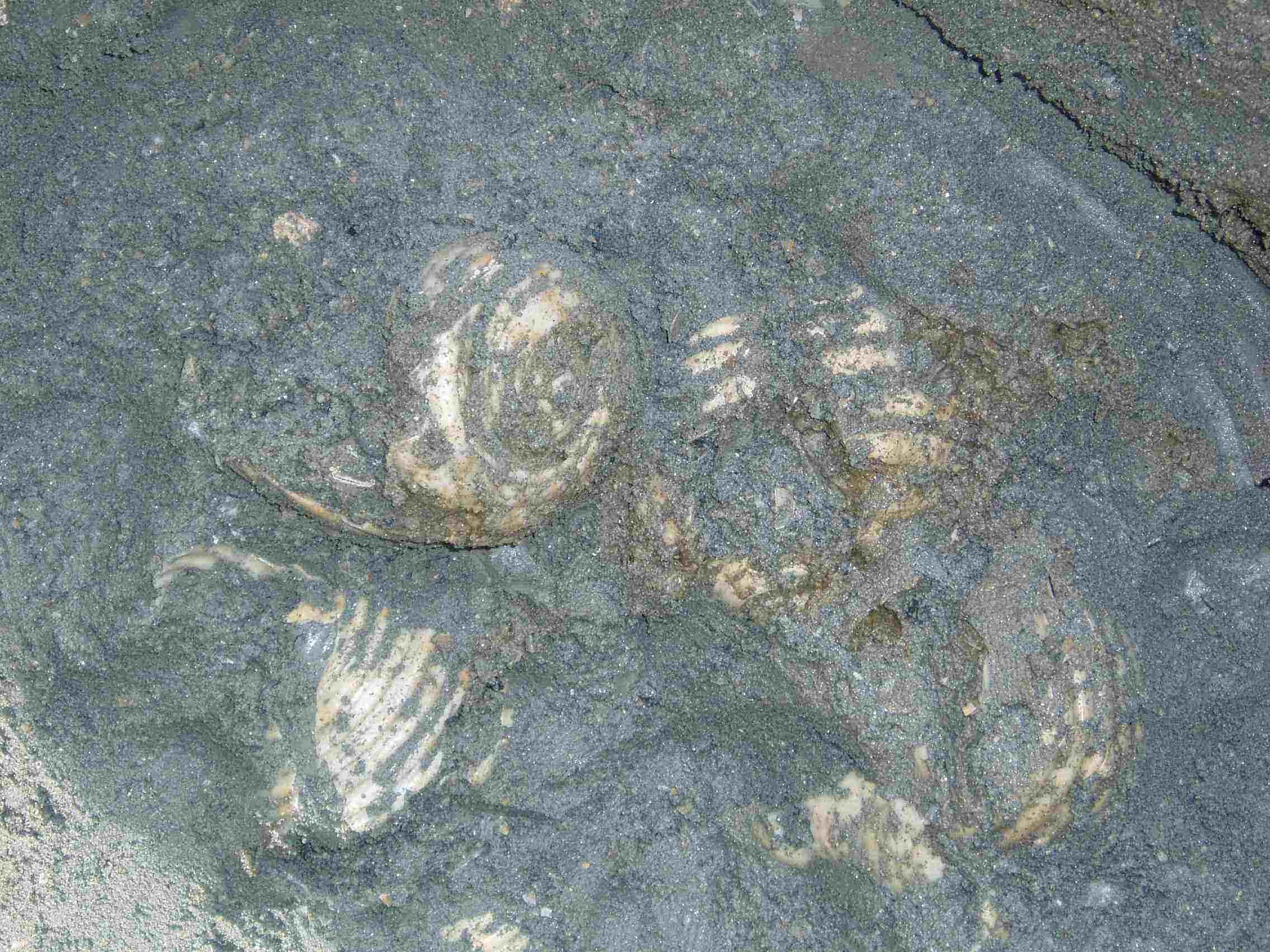 と思われる化石を集団で発見! 初心者の私は、もう大興奮! 慎重に・・・。慎重に・・・。とにかく慎